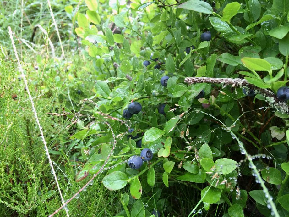 2016-14-07 Blåbær i marken-3